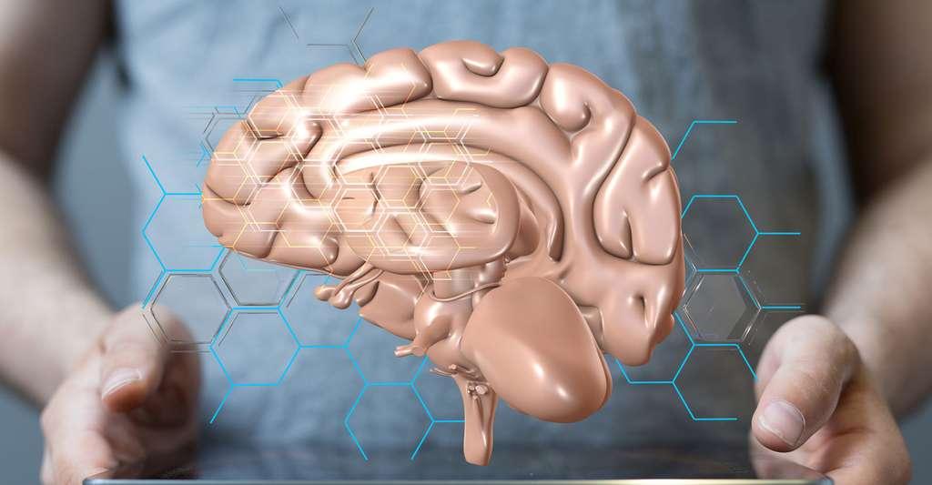 Anatomie du cerveau. © Vege, Fotolia