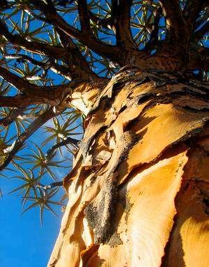 Le kokerboom (soit arbre carquois en français) est endémique de l'Afrique du Sud et de la Namibie. Il peut vivre jusqu'à 350 ans. © Wendy Foden