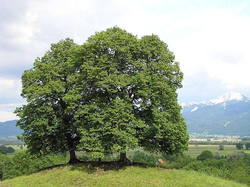 Le tilleul à petites feuilles. © Waugsberg, GNU Free Documentation License version 1.2