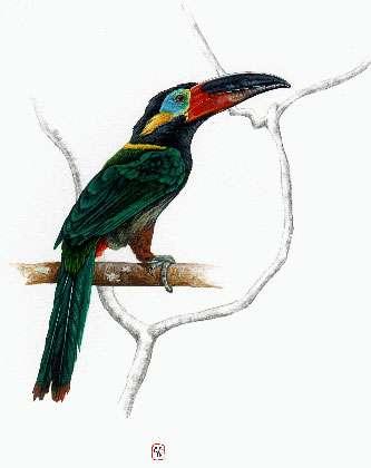 Le toucanet koulik est un petit toucan au dos vert. © Cécile Aquisti, Gepog