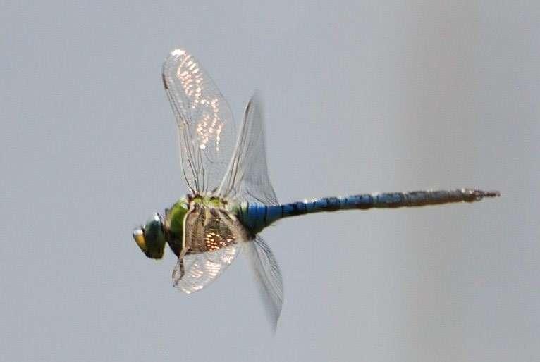 Les libellules peuvent réaliser de véritables prouesses en vol. Certains de ces insectes atteignent une vitesse de pointe de 36 km/h à l'horizontale, contre 22 km/h pour le frelon, et 5,4 km/h à la verticale, contre 1,44 km/h au plus pour les autres insectes volants. © bpmm, Flickr, cc by nc nd 2.0