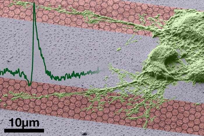 Un montage photo représentant du graphène, reconnaissable à sa structure en nid d'abeille, avec une cellule nerveuse (en vert) et un potentiel d'action (courbe verte à gauche). Le graphène sera-t-il une clé pour les implants bioniques ? © Jose Garrido
