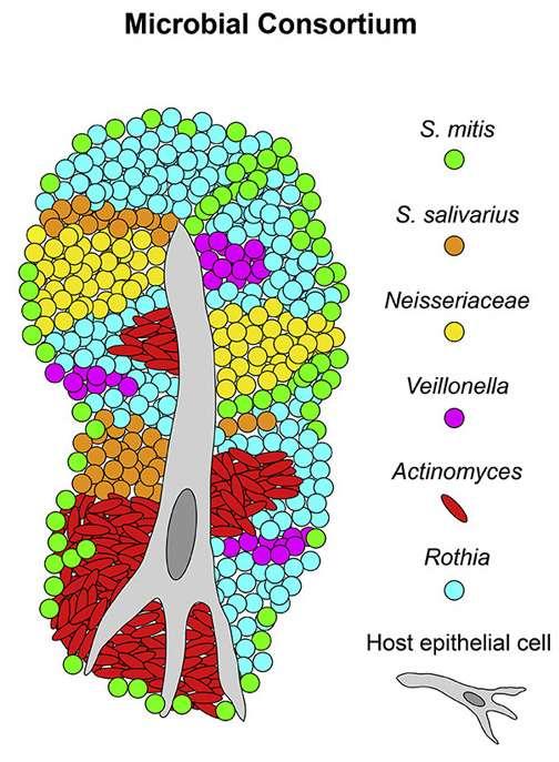 Principales espèces de bactéries constituant le microbiote de la langue. © Steven Wilbert et al., Cell Reports, 2020