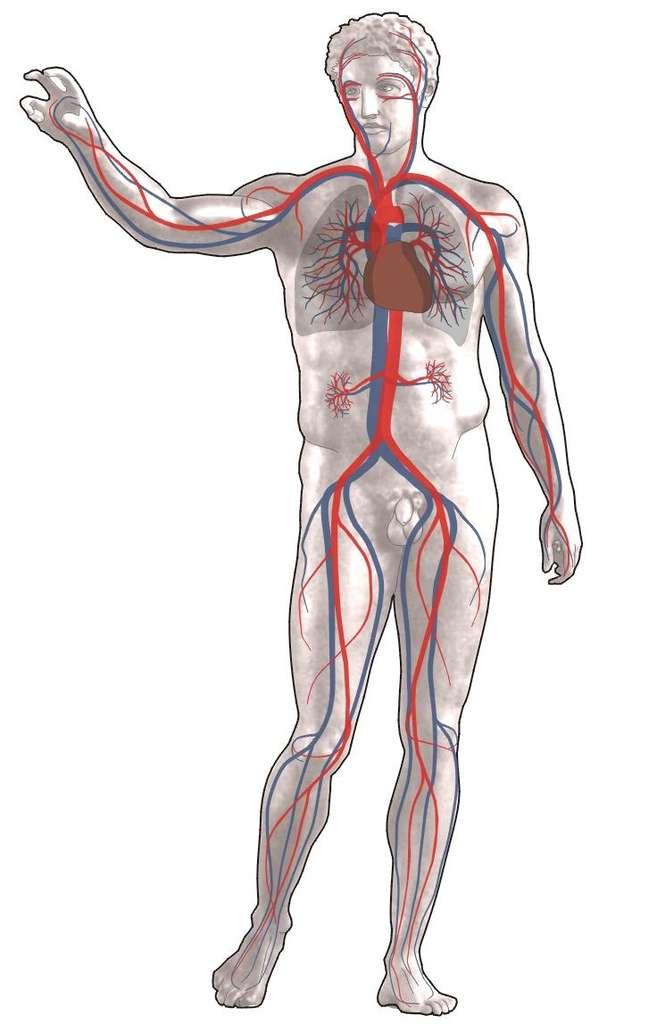 Le système circulatoire irrigue tout l'organisme en sang oxygéné (rouge) pour fournir aux cellules des différents organes les nutriments nécessaires à leur activité. En échange, elles fournissent les déchets qui vont être excrétés. Des tensions trop basses ou trop élevées indiquent un dysfonctionnement et fournissent des informations sur les risques de développer des troubles cardiovasculaires. © Sansculotte, Wikipédia, DP