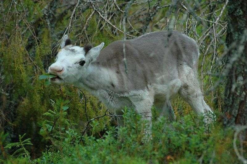 Jeune renne. © Francisco M. Marzoa Alonso - CCA-SA 2.5 Generic license