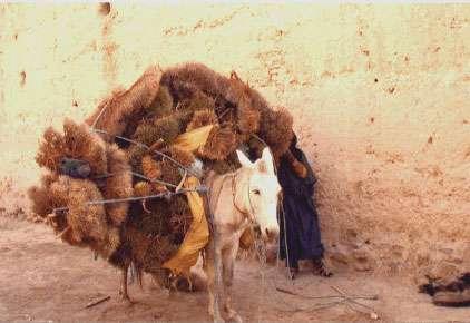 Les villageois du Haut Atlas (Maroc) doivent parcourir des distances toujours plus grandes pour trouver leur combustible, ici des fagots de branchages et des racines.