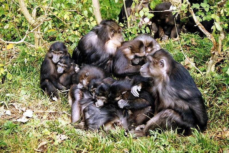 Groupe de macaques de Tonkean in natura. © Christophe Chauvin, domaine public
