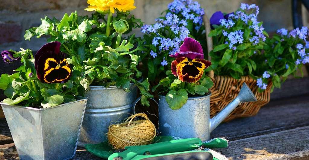 Pensées, myosotis, votre jardin fleuri. © Congerdesign, Pixabay, DP