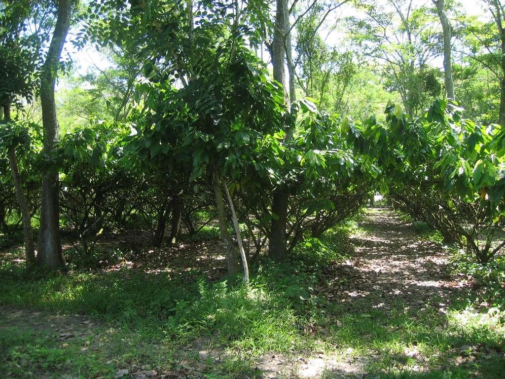 Le cacaoyer, l'arbre de l'ombre. À quoi ressemblent les cabosses de cacao ? Et les fleurs du cacaoyer ? Y a-t-il différentes couleurs ? © R. Boulanger
