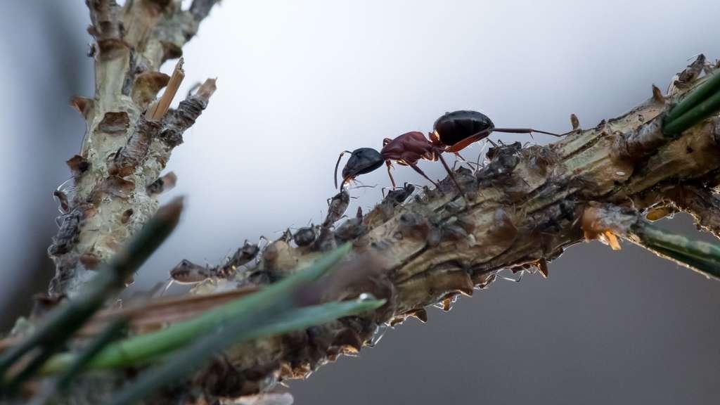 Attention à la fourmi charpentière