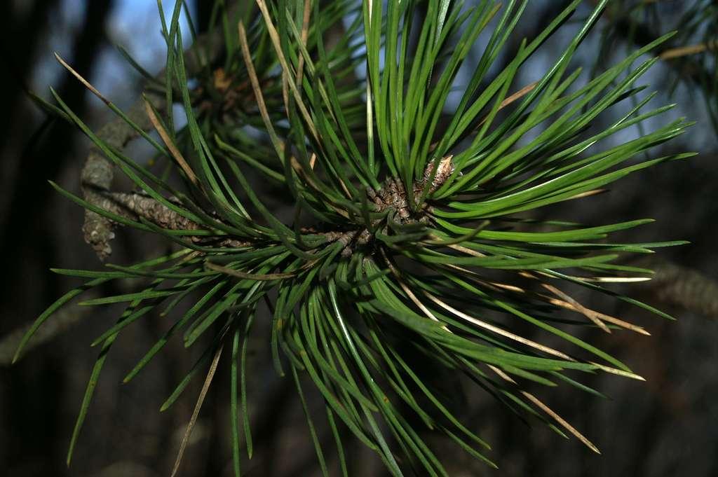 Pinus nigra. © Polhograjska grmada, CC by 2.5