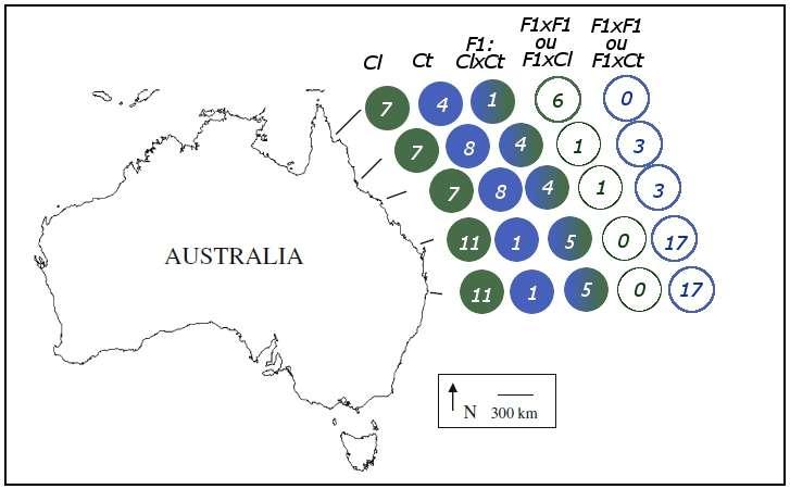 Individus hybrides et purs retrouvés le long de la côte est de l'Australie. Ct : C. tolstoni ; Cl : C. limbatus. © Morgan et al. 2011, Conservation Genetics - adaptation Futura-Sciences