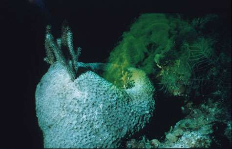 Ircinia Fluo Bahamas - Une éponge « normale », filtrant de grandes quantités d'eau. L'activité de filtration est matérialisée par un colorant, la fluorescéine. © Jean Vacelet - Tous droits réservés