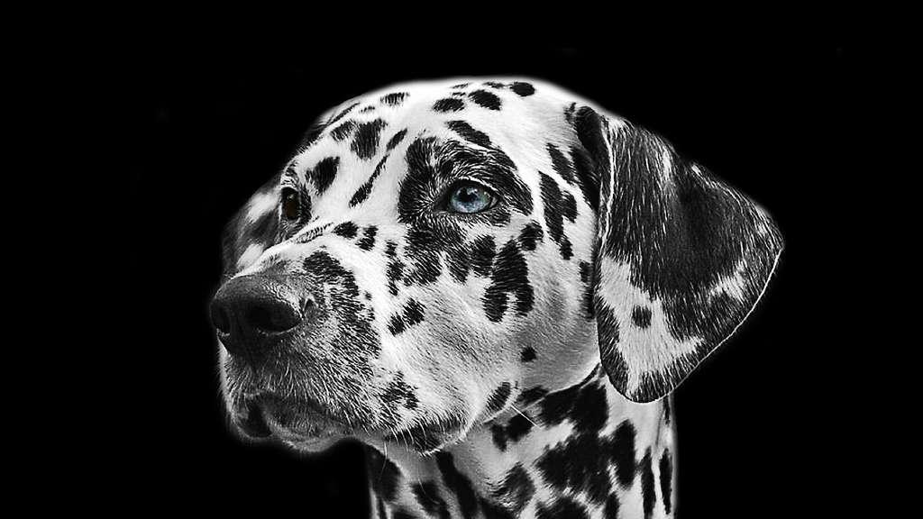Un dalmatien à l'œil bleu