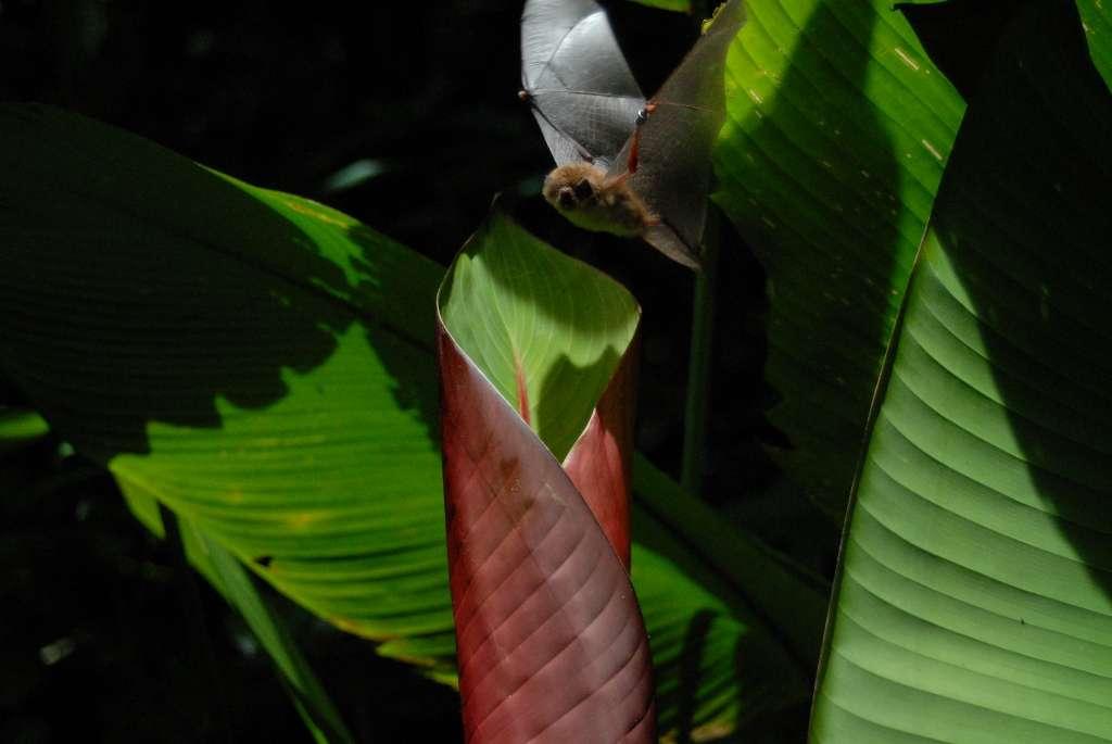 Les chauves-souris Thyroptera tricolor ne volent jamais à plus de cinq mètres du sol de la forêt qui les abrite. © Gloriana Chaverri