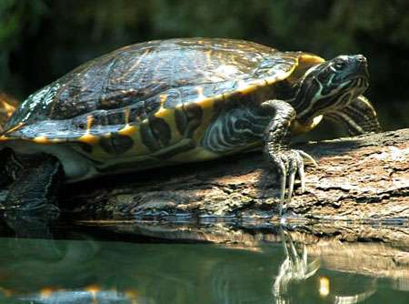 Tortue de Floride. © Wilfried Berns, Creative Commons Attribution-Share Alike 2.0 Germany