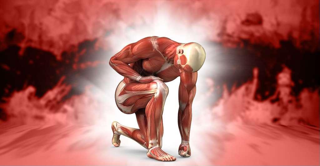Anatomie musculaire. © CLIPAREA l Custom Media, Shutterstock