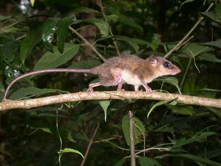 Beaucoup d'espèces d'opossums sud-américains n'ont pas de poche marsupiale, et donc les larves portées par la mère sont parfaitement visibles. Ici, une petite Marmosa murina (env. 70 grammes) traverse le chemin en profitant d'une branche horizontale. © François Catzeflis - Tous droits réservés