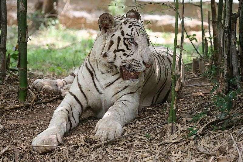 Tigre blanc du Bengale. © Muhammad Mahdi Karim, Wikipédia, GNU FDL Version 1.2
