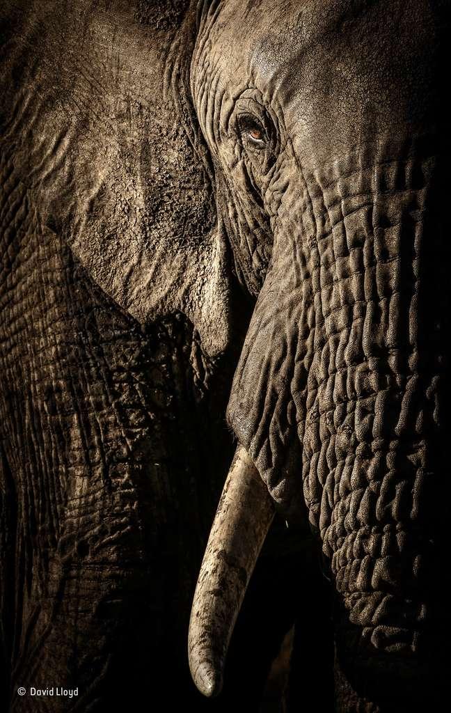 L'œil de la matriarche. © David Lloyd, 2017 Wildlife Photographer of the Year