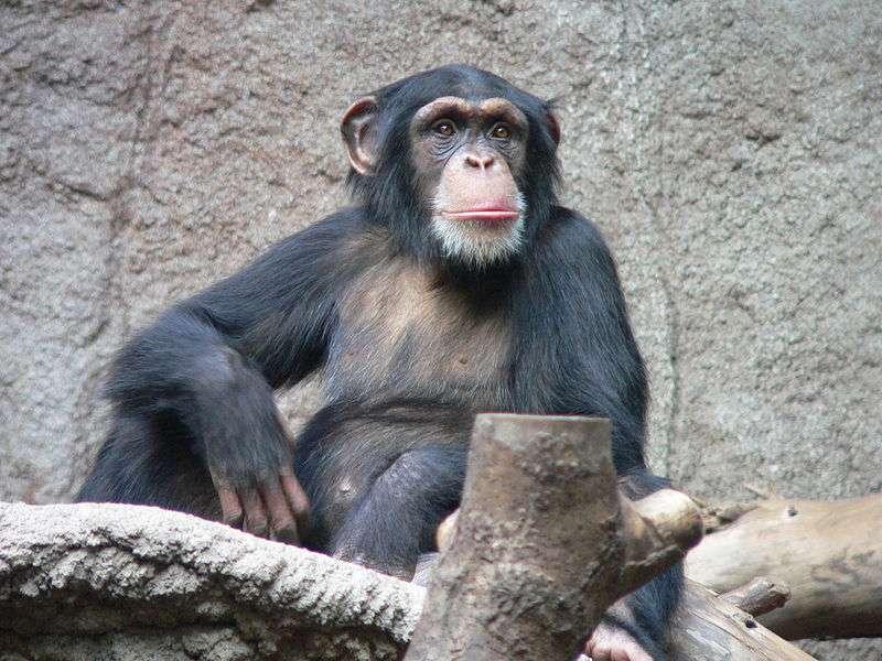 Les chimpanzés utilisent des baguettes pour récolter les fourmis. © Thomas Lersch, CC by-sa 3.0