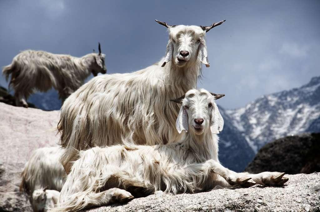 La chèvre cachemire vit sur les hauts plateaux du Ladakh et du Tibet. © bbtomas, Fotolia