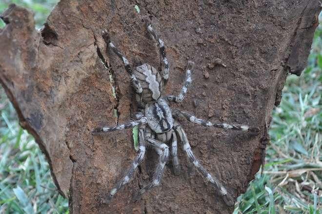 Poecilotheria rajaei affectionne particulièrement les arbres des forêts denses, mais cette espèce a aussi été retrouvée dans un hôpital abandonné dans le nord du Sri Lanka. © Ranil Nanayakkara