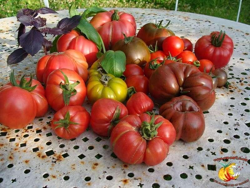 Assortiment de tomates. C'est un ingrédient central dans de nombreux pays occidentaux, avec une consommation jusqu'à 72 kg par habitant et par an en Grèce. © Tomodori