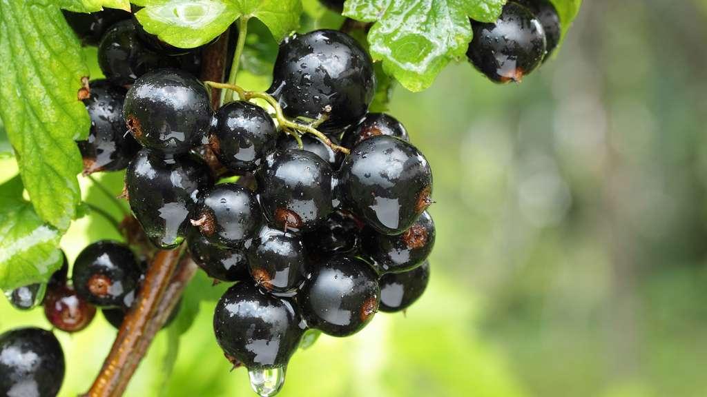 Le cassis, délicatement acidulé, est le fruit du cassissier. © Belka10, Shutterstock