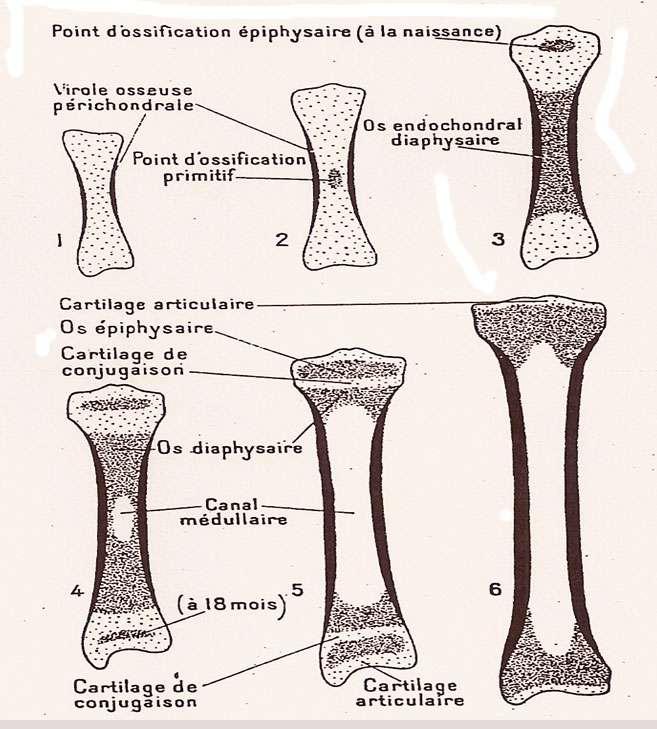 Planche représentant la croissance d'un os long, extraite de Morphologie et physiologie animales, de Georges Bresse (1965). © Larousse