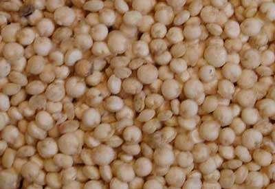 Grains de quinoa, mélange variétal. Sur l'Altiplano, haut plateau situé entre 3600 et 4300 mètres d'altitude, le programme de recherche a développé un réseau expérimental agronomique pour la quinoa, pseudo-céréale qui présente un intérêt croissant pour l'exportation en Europe et en Amérique du Nord comme produit biologique à très haute teneur en protéines. © IRD - Raffaillac, Jean-Pierre