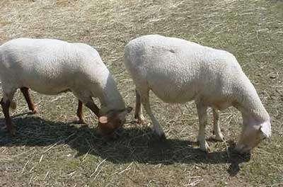 La laine de mouton fait un très bon isolant. © environnement.ecoles.free.fr