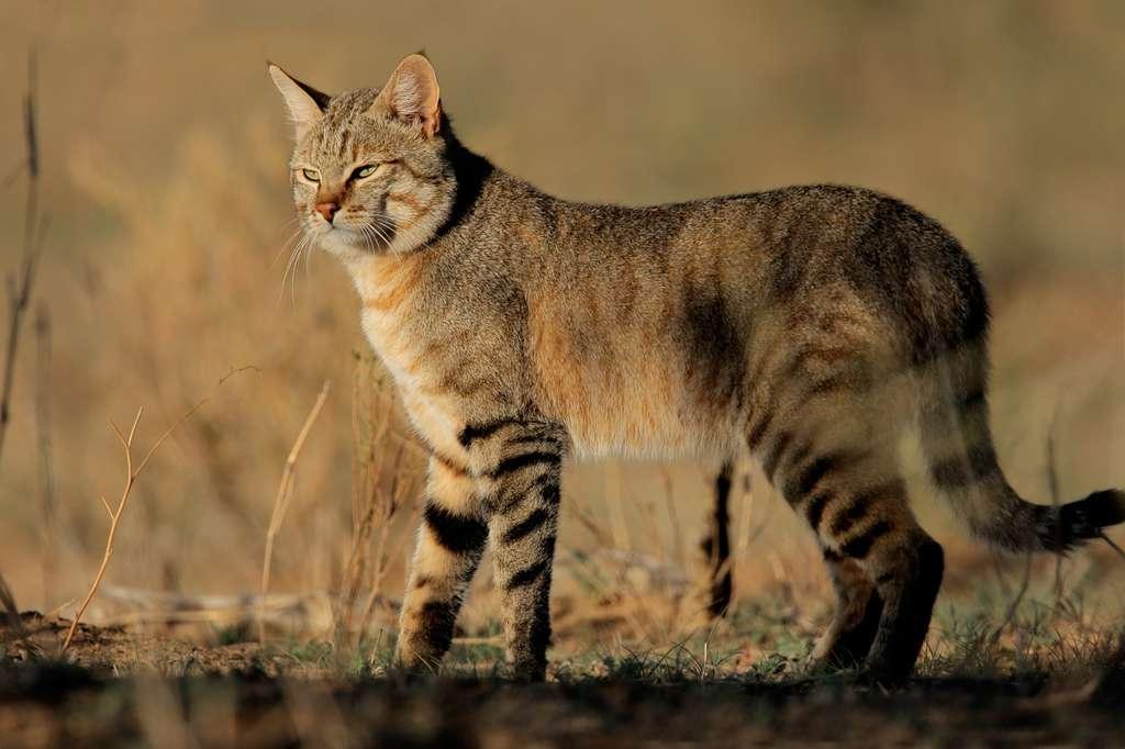 Le chat sauvage du Moyen-Orient (Felis silvestris lybica), que l'on rencontre encore de nos jours dans le nord de l'Afrique et jusqu'en Anatolie, est l'ancêtre de nos chats domestiques. © EcoView, Fotolia