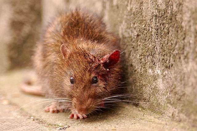 Un rat, principal réservoir de la bactérie leptospira. © Jan van der Crabben, Wikimedia commons, CC 2.0