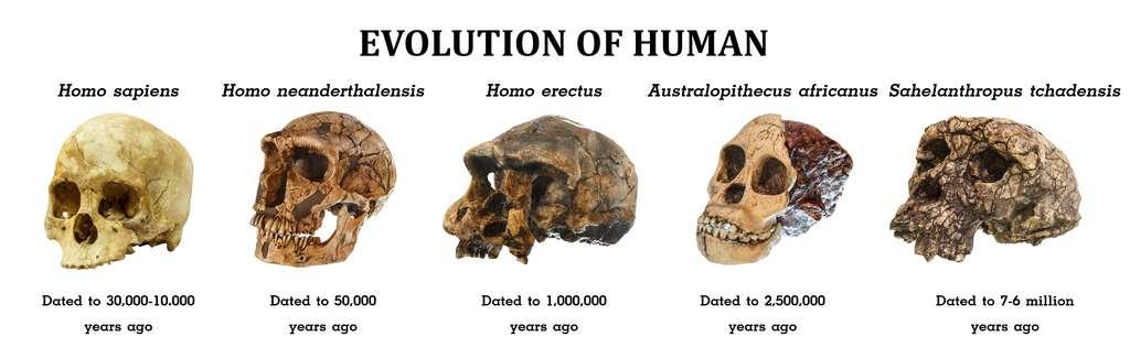 Morphologies crâniennes de plusieurs homininés. © stockdevil, Adobe Stock