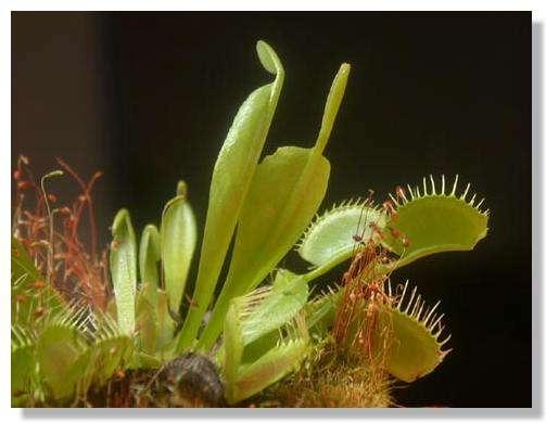 Figure 14. Dionée jeune. On observe plusieurs jeunes feuilles à différentes étapes de leur développement. © Biologie et Mulitmedia