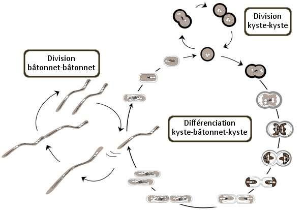 La bactérie du désert est capable de se diviser aussi bien en forme bâtonnet qu'en forme de kyste, ce qui est exceptionnel. Elle passe d'une forme à l'autre au cours d'un cycle de différenciation. © De Luca et al. 2011 - Plos One - Adaptation Futura-Sciences