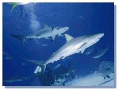 Les requins possèdent plusieurs types de nageoires. © DR