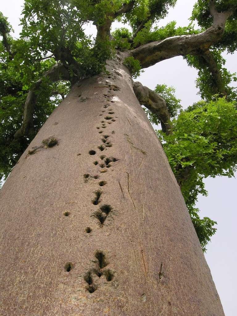 Un tronc de baobab entaillé par l'Homme
