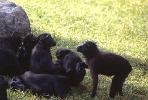 La femelle de droite répond également avec un claquement de lèvres . © Odile Petit - Reproduction et utilisation interdites
