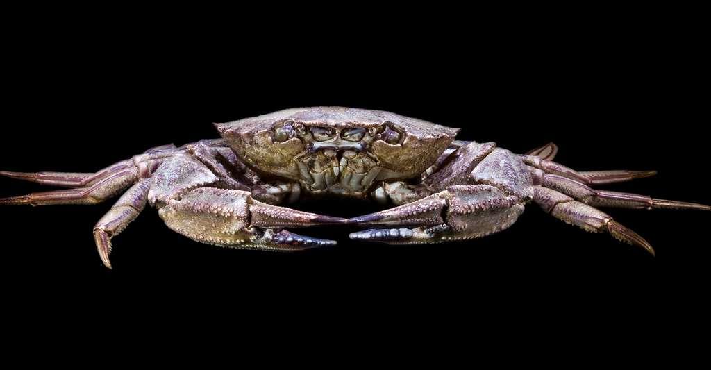 Étrille Necora puber (famille des Portunidae ; vit dans l'océan Atlantique). Mâle vu de face. Sa carapace mesure 7,8 cm. © Didier Descouens, Wikimedia commons, CC by-sa 3.0
