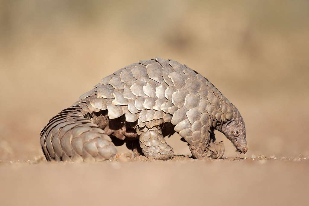 Pangolin. © 2630 Ben, Adobe stock