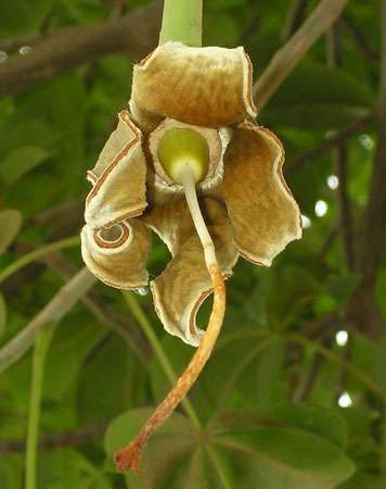 Fleur de baobab venant tout juste de tomber et laissant apparaître le fruit. © S. Garnaud - Reproduction et utilisation interdites