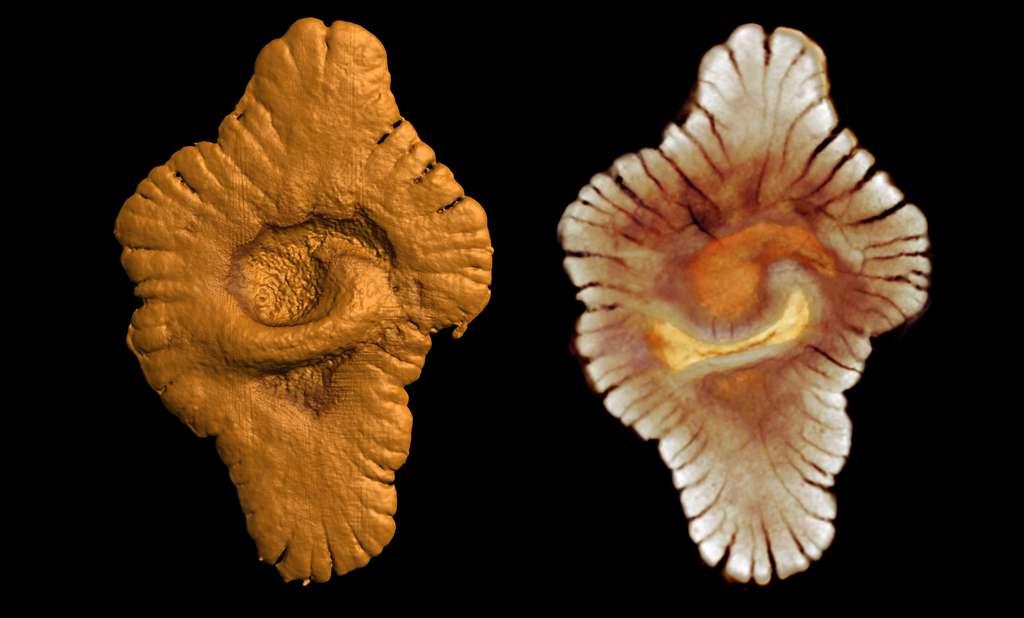 Ce fossile d'un organisme pluricellulaire, ici reconstitué en 3D par microtomographie X, a été découvert au Gabon, dans des roches vieilles de deux milliards d'années ! © Kaksonen, photothèque CNRS