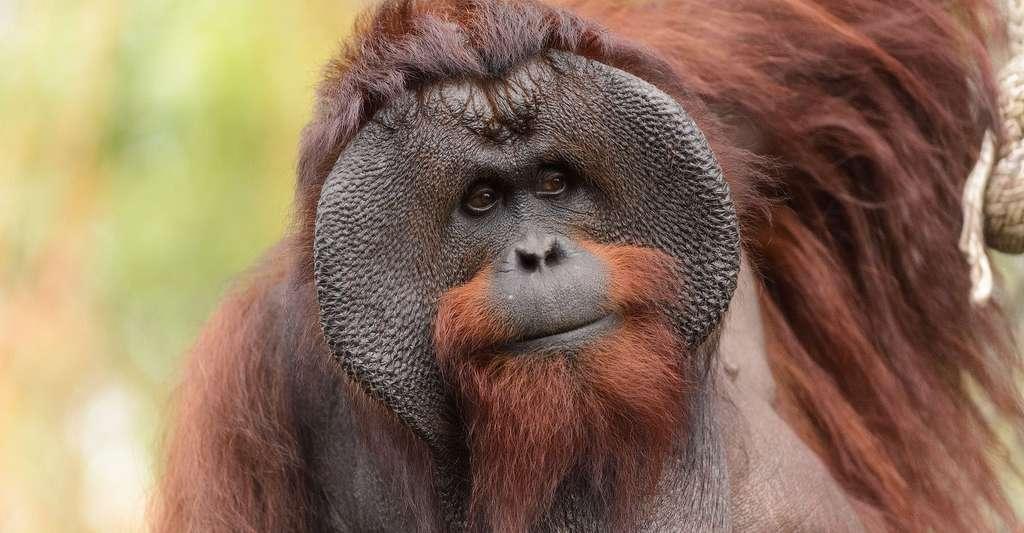 Mâle Orang outan de Bornéo.© Eric Kilby, Wikimedia commons, CC by-sa 2.0