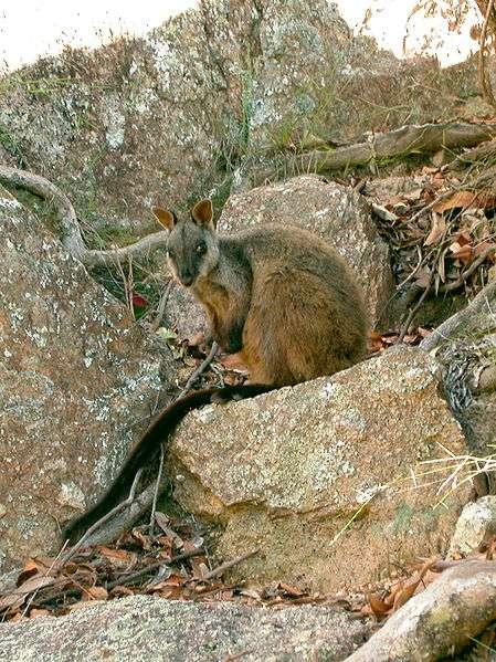 Wallaby des rochers à queue en pinceau. © Glen Fergus, Wikipédia, cc by sa 2.5