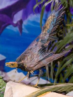 Reconstitution d'Archaeopteryx au Muséum de Genève © Philippe Wagneur, MHNG