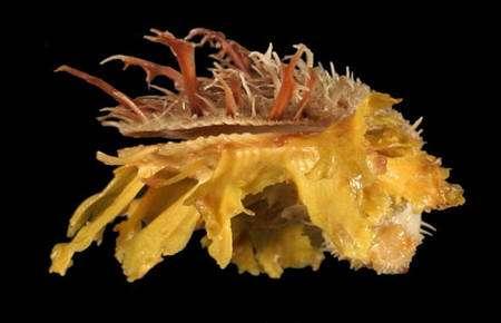 Bivalve Spondylus ictericus. © Jean-Pierre Pointier - Tous droits réservés