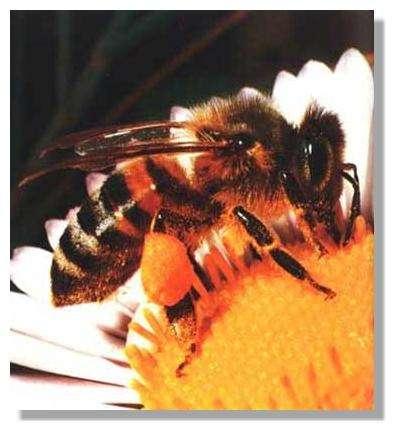 Abeille avec pelotes de pollen sur les pattes postérieures © crédit : Luc Tamisier
