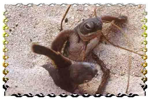 Bébés tortues - tous droits réservés - crédit photo Philippe Mespoulhé